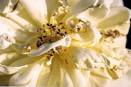 Gardenia by tarara