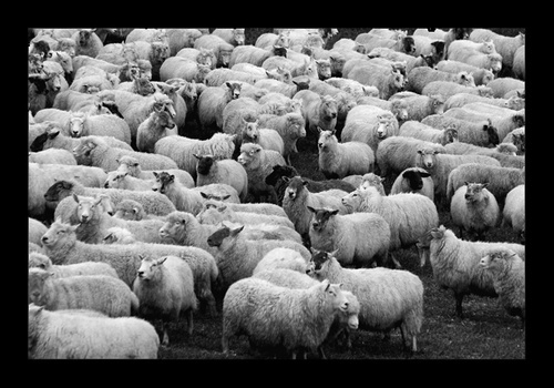 \'Sheeps\' by PhotoLM