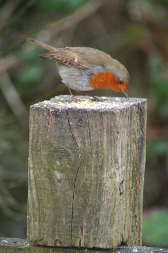 Robin by Pixsie