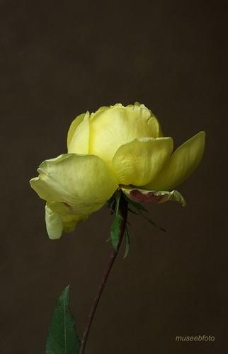 Yellow Rose by museebfoto