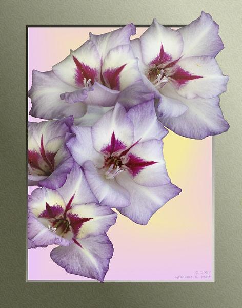 Gladiolus by 19Grumpah42