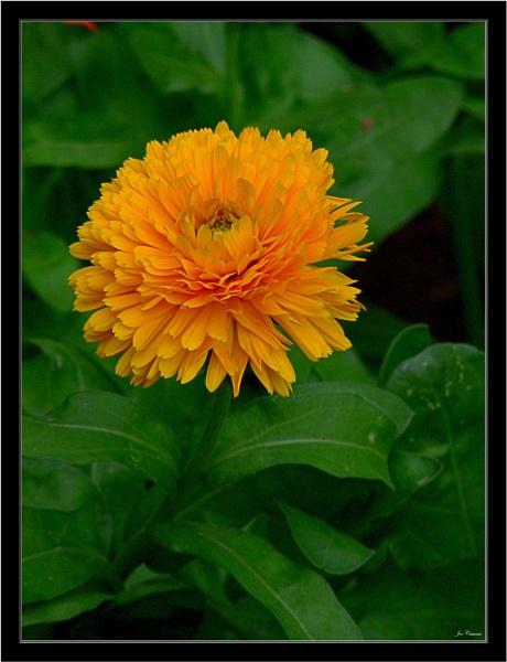 Solitary Marigold by KingArthur