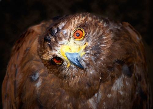 hawk by chrisam