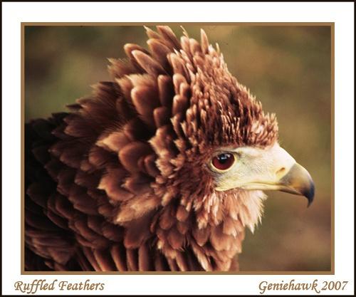 Ruffled Feathers by geniehawk