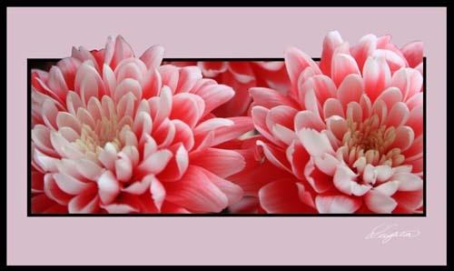 Chrysanthumum\'s by Leightonhs