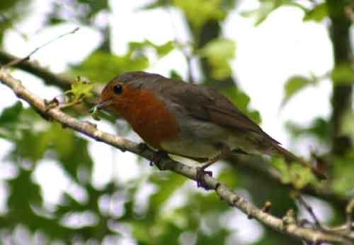 Robin by Tawny