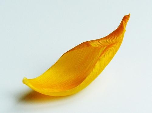 yellow petal by Nade