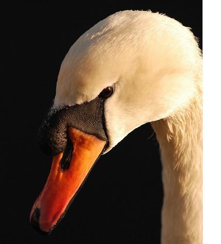 The Swan by kipp