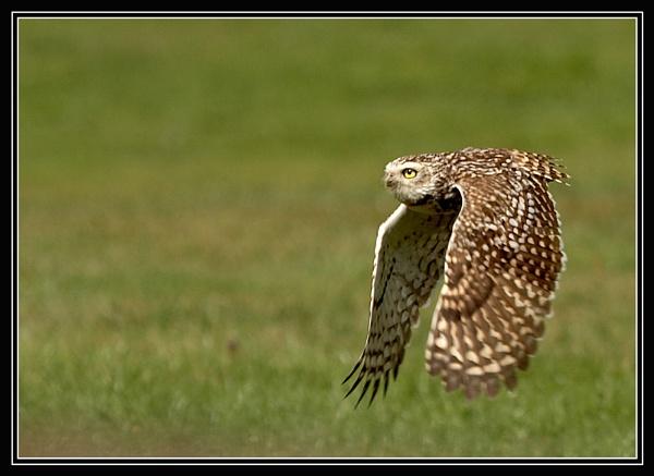 Burrowing Owl by brian usher