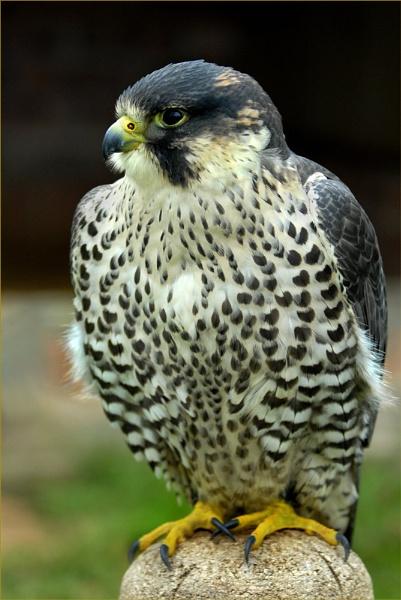 Peragrine Falcon by Kim Walton
