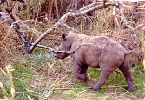 shy baby rhino by dragarth
