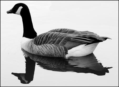 Goose by nikguyatt