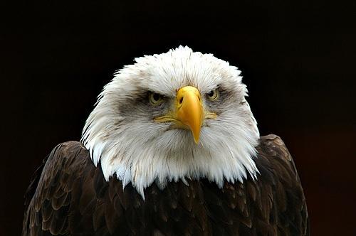 bald eagle by jimr