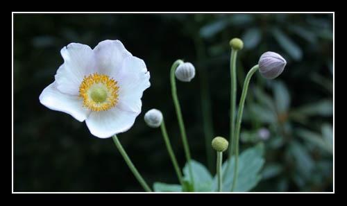Anemone by freds