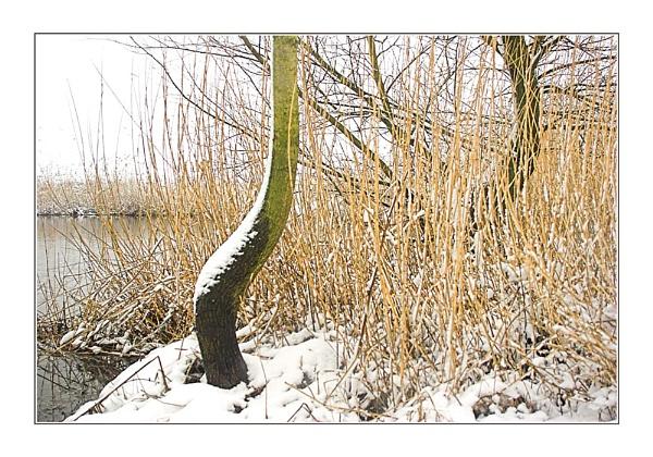 Snow & Reeds by conrad