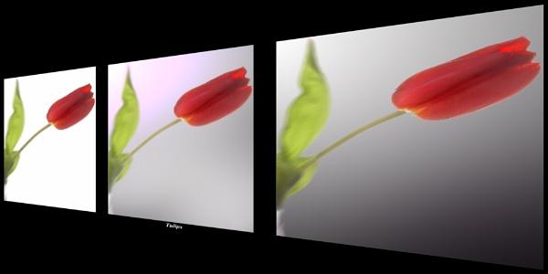 Tulip 3 by yak_farmer