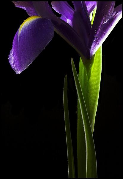 Iris by mathugamble