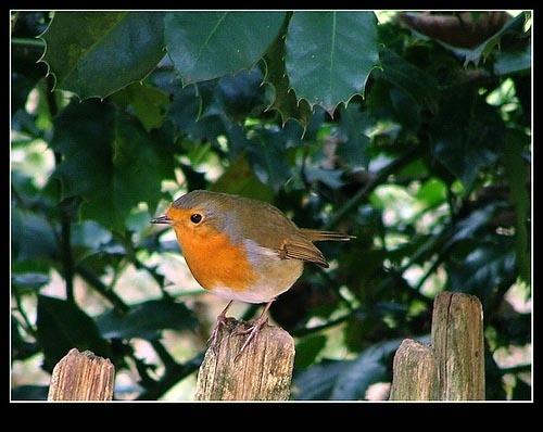 One chubby robin by Deego