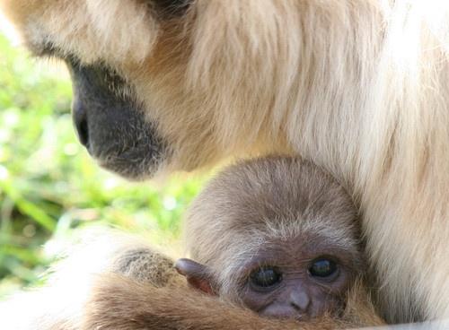 Gibbon mum by Pogs