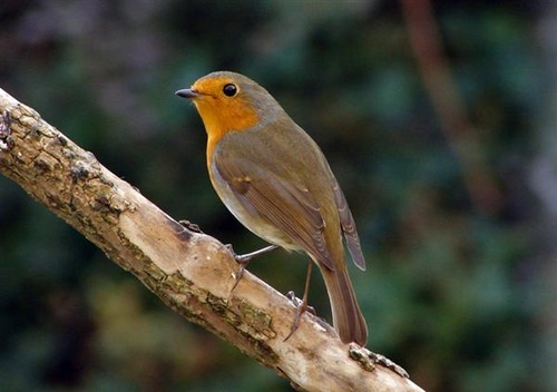 Robin by Mr_Grimesdale