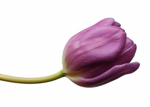 Tulip by Nade