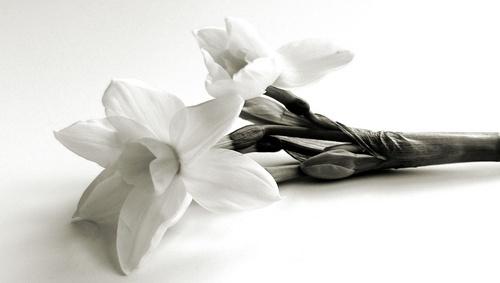 daffodil by Nade