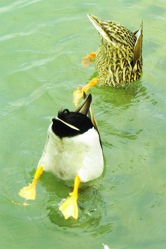 Exhibitionist Ducks by Jamshid