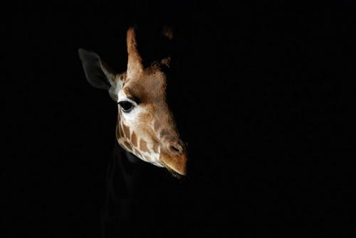 Giraffe by tavm