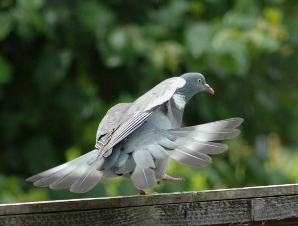 Pidgeon  flight by sparklep