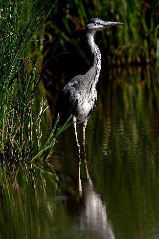 Grey Heron by BertieP