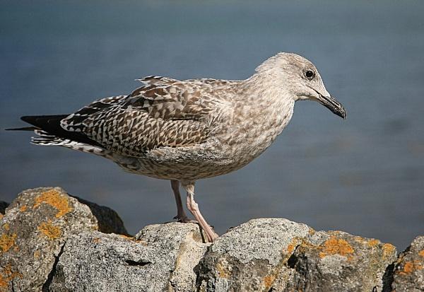 Immature Gull by BertieP