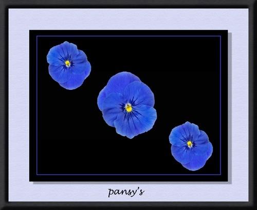 Pansys by lenslady