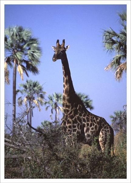 Giraffe  Botswana by rontear