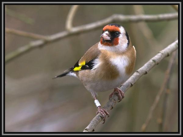 Goldfinch by daffydill56