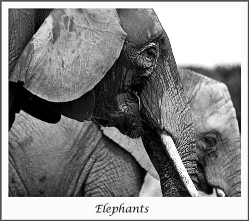 Elelphants by nikguyatt