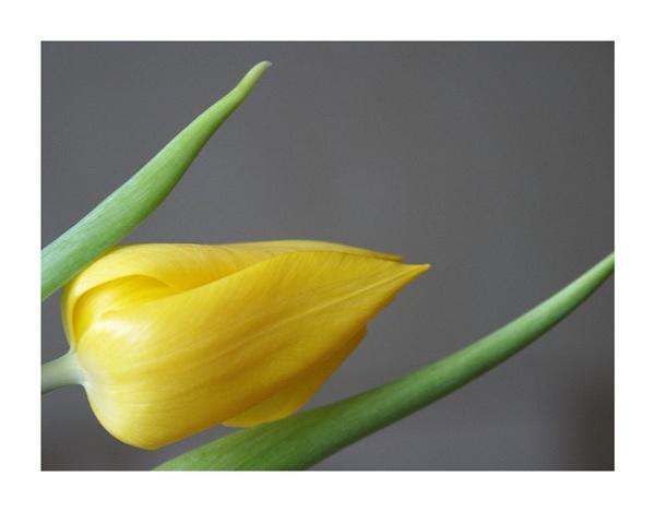 Tulip by Dennie