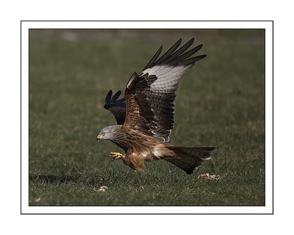 Red Kite by barnowl
