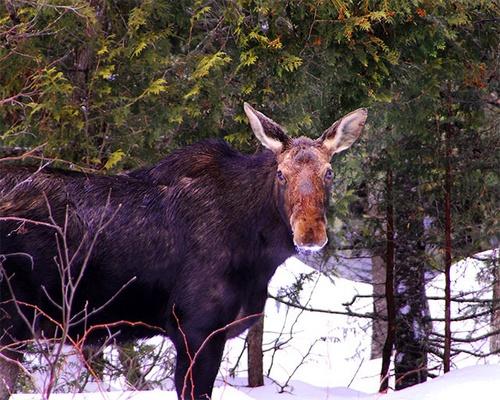 Moose by gmontambault