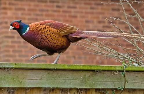 Mr Pheasant 2 by bigLol
