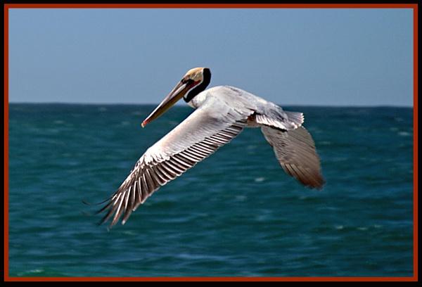 Pelican in Flight by mommy2cutekids