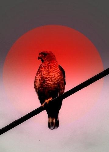 Red Hawk Sun by zenmastr