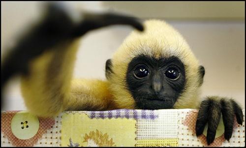 Funky Gibbon by jskazza