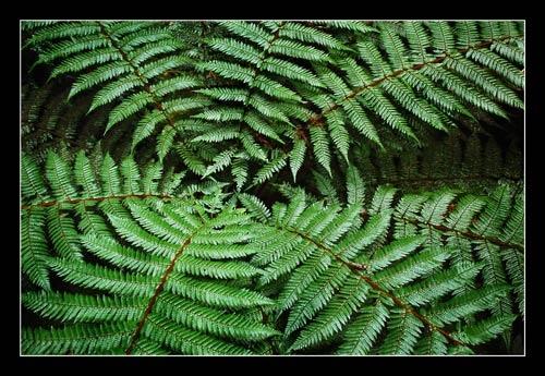 Forest Fern by HowardA