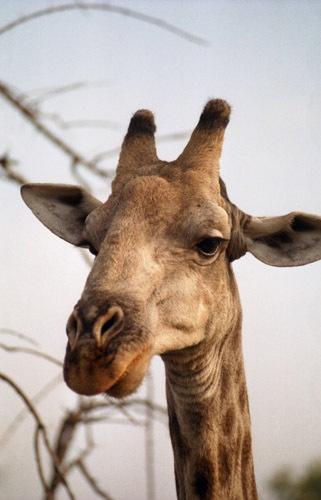 Giraffe by Mo_W