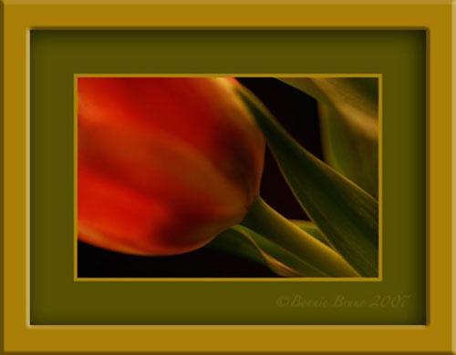 Tulip Study #1 by bbruno