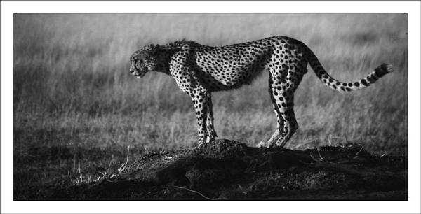 Cheetah Botswana, Mono by rontear