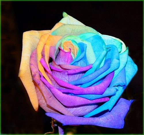 Happy Rose by una