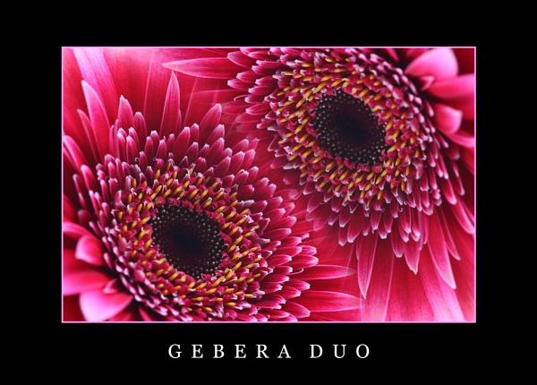 Gerbera Duo by Cole