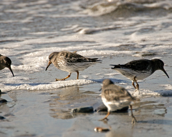 Purple Sandpiper by podgod