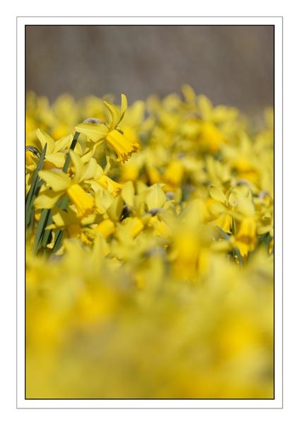More Daffodils.... by ejtumman
